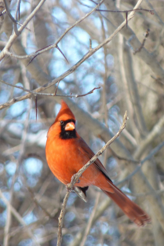 Cardinal rouge - Laval - Safaris de Sophie - Sophie Labelle