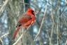 Cardinal rouge - Laval - Sophie Labelle - Safaris de Sophie