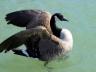 Bernache du Canada - Canada Goose - Sophie Labelle