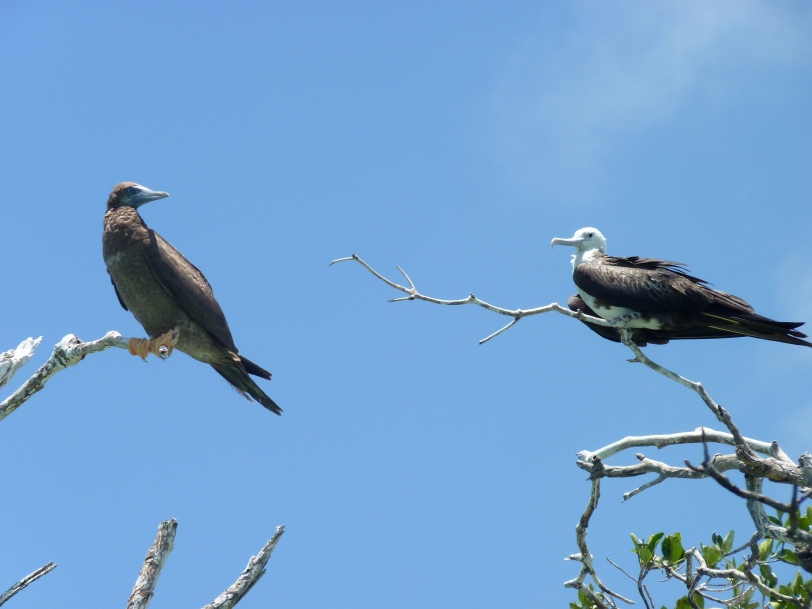 Frégates superbes - fous bruns -  Magnificent Frigatebird - Brown Booby